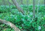 Virginia bluebells on forest floor