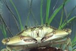 Blue crab (captive) with eelgrass