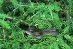 Eastern garter snake in red spruce tree