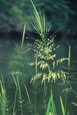 Wild rice in flower, tidal freshwater marsh along the Patuxent River