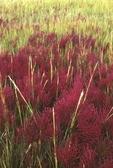 Glasswort (also called saltwort) and saltmarsh cordgrass in fall color, growing in salt marsh