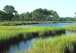 Tidal creek and salt marsh with saltmarsh cordgrass