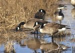 Canada geese feeding in freshwater impoundment