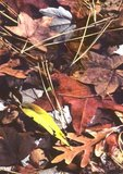 Fallen autumn leaves (willow, oak, sweetgum, red maple, and pine) under water