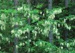 Black locust trees in flower among loblolly pines