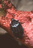 Carrion beetle on dog stinkhorn (a fungus)