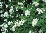 Multiflora rose in flower