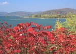 Staghorn sumac and Allegheny Reservoir