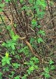 Eastern ribbon snake resting in swamp rose