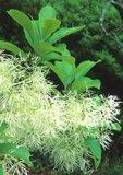 Fringe tree in flower