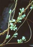 Dodder in flower