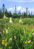 Wet meadow with meadowsweet, goldenrod, and balsam fir