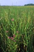 Tidal marsh with saltmarsh fleabane and smartweed