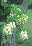 Black locust in flower