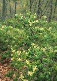 Mountain fetterbush in flower