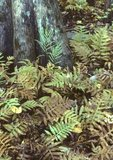 Netted chain fern at base of bald cypress