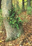 Resurrection fern growing on sweetgum tree, with greenbier vine in the foreground and giant cane in the background