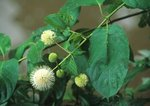 Buttonbush with flowers