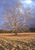 American sycamore, also known as eastern sycamore