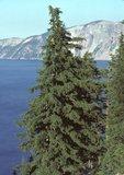 Mountain hemlock and Crater Lake