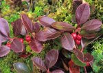 Wintergreen (also called checkerberry or teaberry) in fall color, with berries