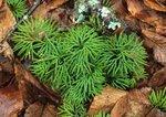 Ground pine, also called running pine, running cedar, or fan clubmoss