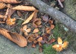 Fallen nuts and leaves of American beech