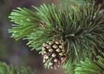 Lodgepole pine with cone