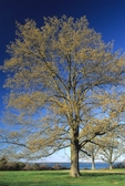 Southern red oak with emerging leaves in spring