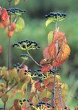Southern arrowwood in fall color with fruit