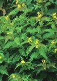 Bush honeysuckle in flower