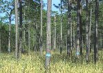 Longleaf pines, some marked as hosting red-cockaded woodpecker nest cavities