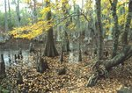 Swamp with bald cypress and red maple
