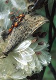 Milkweed bug nymphs on common milkweed pod, which is about to disperse seeds