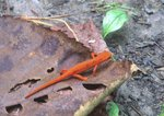 Red eft, the terrestrial, subadult stage of the red-spotted newt