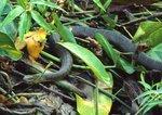 Northern water snake in freshwater tidal marsh