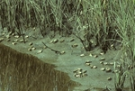 Red-jointed fiddler crabs and saltmarsh cordgrass on mud edge of tidal creek