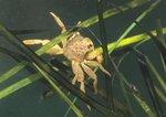 Wharf crab (captive)