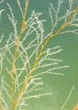 "Garland hydroid, called ""white hair"" by Chesapeake Bay watermen (captive)"