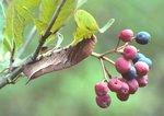 Azalea sphinx moth caterpillar on wild raisin