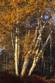 Paper birches in fall color