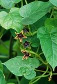 Anglepod (also called angularfruit milkvine) in flower