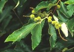 Allegheny chinquapin with developing nuts