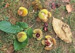 Fallen husks, nuts, and leaves of American chestnut