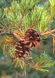 Virginia pine with cones