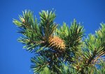 Table mountain pine with cone