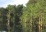 Pond cypresses along shore of Jones Lake, a Carolina bay