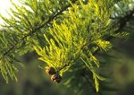 Pond cypress needles and cones
