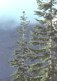 Shasta red firs