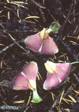 Fallen seeds and bracts from cone of shasta red fir